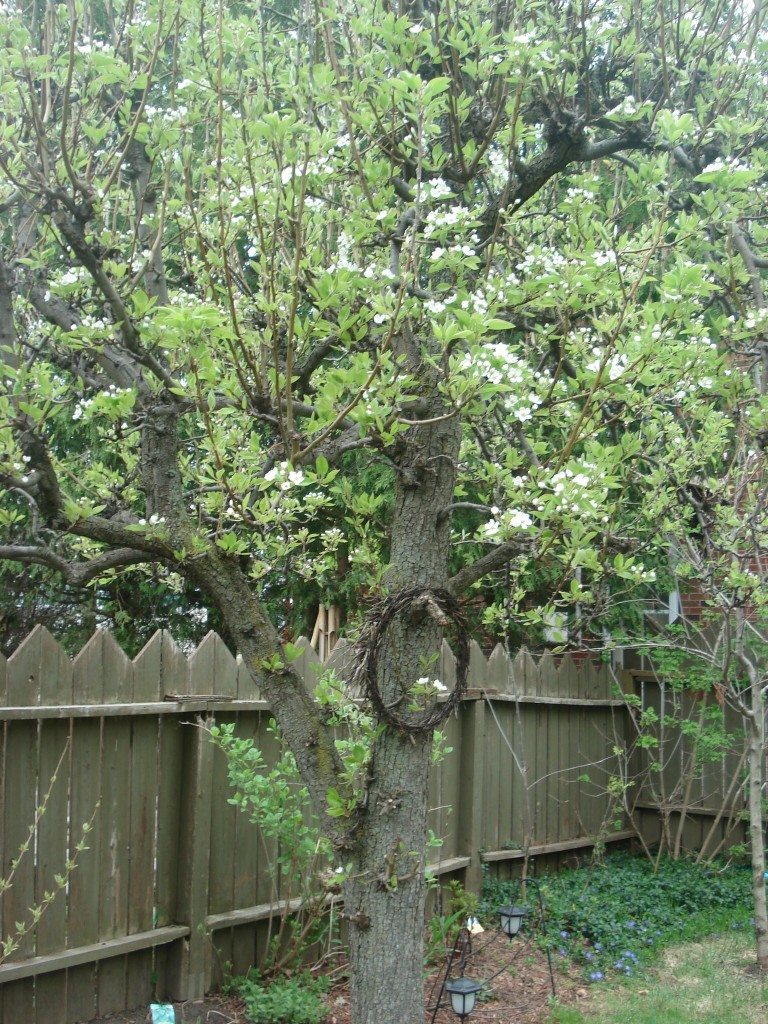 enjoying the last blooms on the pear tree